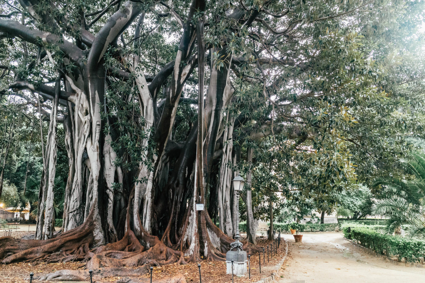 things to see in palermo, the ficus macrophylla